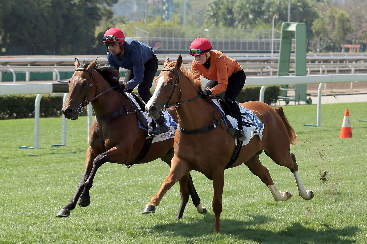 兩匹南半球三歲馬,包括編號24 (父系Snitzel,母系Highland Daughter)及編號14(父系Not A Single Doubt,母系Heaven Beneath)的拍賣馬今早在沙田馬場結伴試跑。